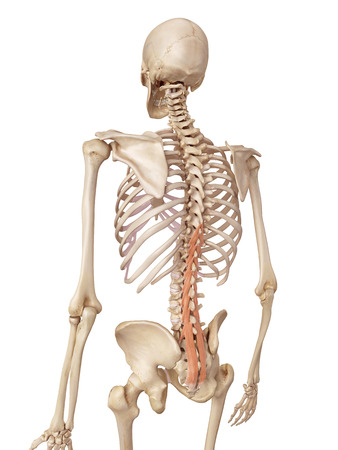 accurate: medical accurate illustration of the multifidus