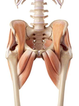 pr�cis: illustration m�dicale pr�cise des muscles de la hanche
