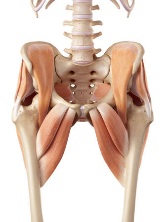 muscle bone: medical accurate illustration of the hip muscles