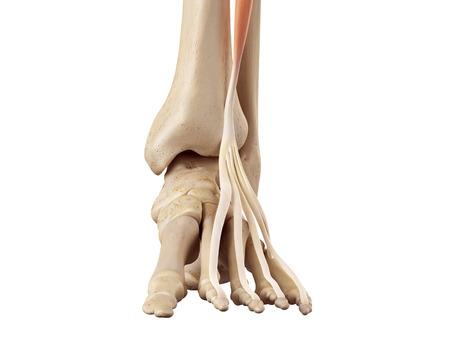 musculature: medical accurate illustration of the extensor digitorum longus