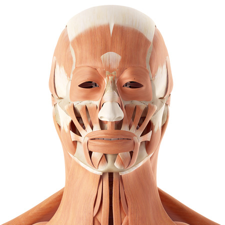 musculature: medical accurate illustration of the facial muscles