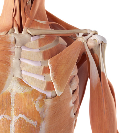 3d nude: medical accurate illustration of the shoulder muscles