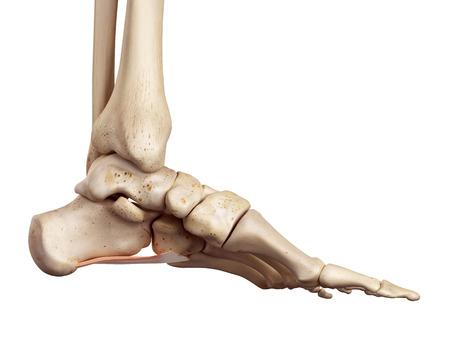 huesos: ilustración médica precisa del cuadrado plantar