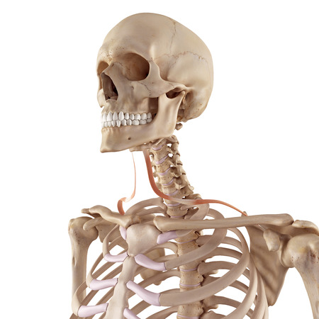 accurate: medical accurate illustration of the omohyoid Stock Photo