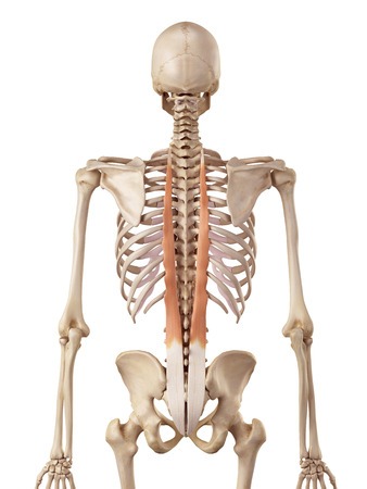 accurate: medical accurate illustration of the longissimus thoracis Stock Photo