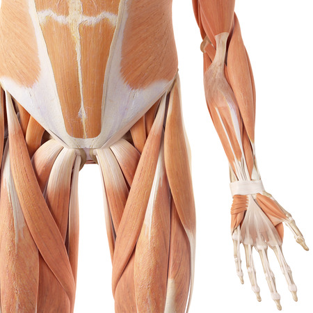 biomedical: medical accurate illustration of the leg muscles
