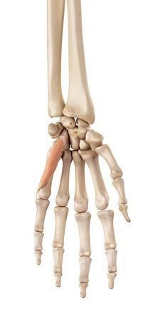 flexor: medical accurate illustration of the flexor digiti minimi brevis