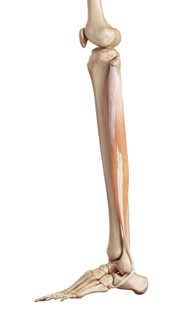 medical accurate illustration of the peroneus longus Stock Photo