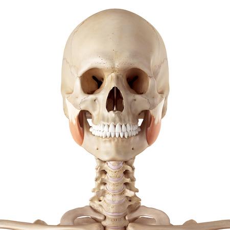 superior: medical accurate illustration of the masseter superior