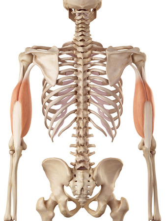 upper arm: medical accurate illustration of the triceps Stock Photo