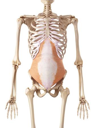 rectus: medical accurate illustration of the transversus abdominis
