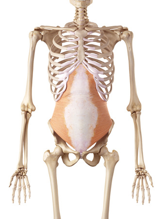 accurate: medical accurate illustration of the transversus abdominis