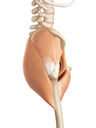 hips: medical accurate illustration of the hip muscles