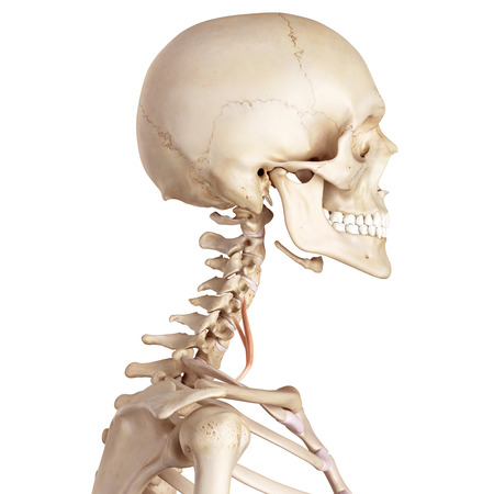 accurate: medical accurate illustration of the scalene anterior