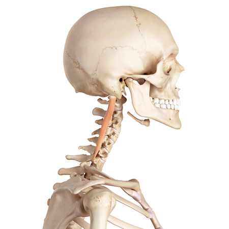 accurate: medical accurate illustration of the longissimus capitis
