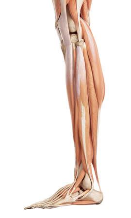 esqueleto: ilustración médica precisa de los músculos inferiores de la pierna