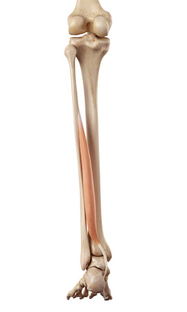 a leg: medical accurate illustration of the flexor hallucis