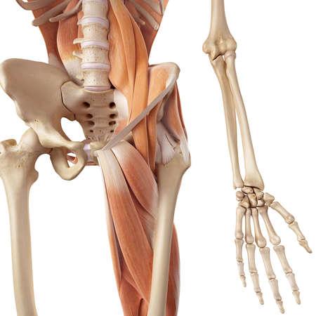 muscle: ilustración médica precisa de los músculos de la cadera y de la pierna