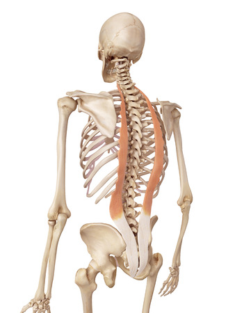 accurate: medical accurate illustration of the iliocostalis