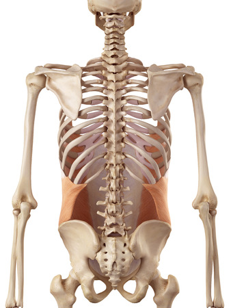 oblique: medical accurate illustration of the external oblique Stock Photo