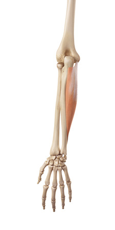 musculature: medical accurate illustration of the flexor carpi ulnaris Stock Photo