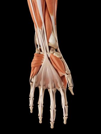 pr�cis: illustration m�dicale pr�cise des muscles de la main