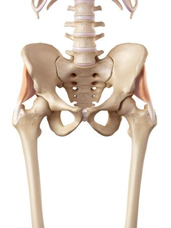 ilium: medical accurate illustration of the gluteus minimus