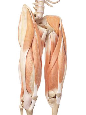 muslos: ilustración médica precisa de los músculos superiores de la pierna Foto de archivo