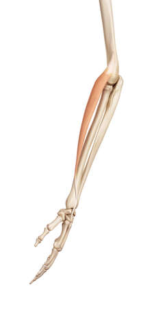 extensor: medical accurate illustration of the extensor carpi radialis longus