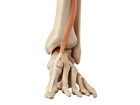 musculature: medical accurate illustration of the extensor hallucis longus