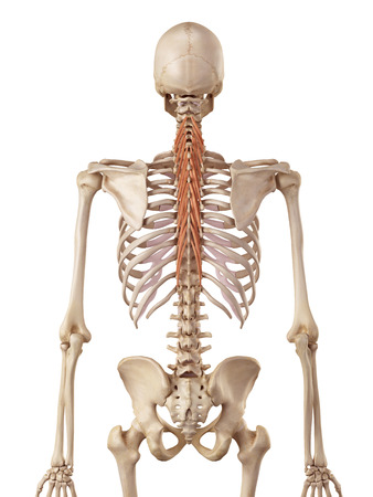 accurate: medical accurate illustration of the semispinalis thoracis Stock Photo