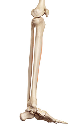 limbs: medical accurate illustration of the tibialis anterior Stock Photo
