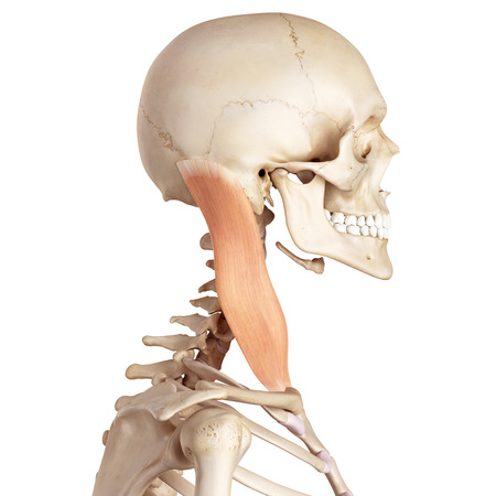 accurate: medical accurate illustration of the sternocleidomastoid