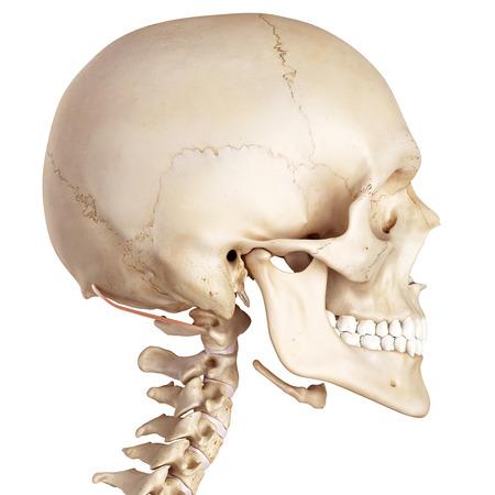 biomedical: medical accurate illustration of the obliquus superior capitis