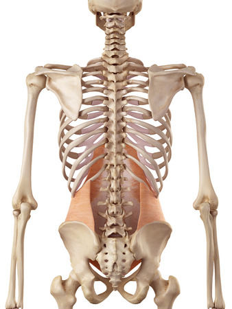 abdominis: medical accurate illustration of the transversus abdominis