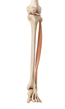 lower limb: medical accurate illustration of the extensor digitorum longus
