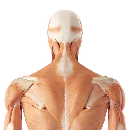 musculature: medical accurate illustration of the upper back muscles