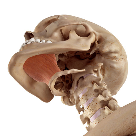 accurate: medical accurate illustration of the mylohyoid Stock Photo