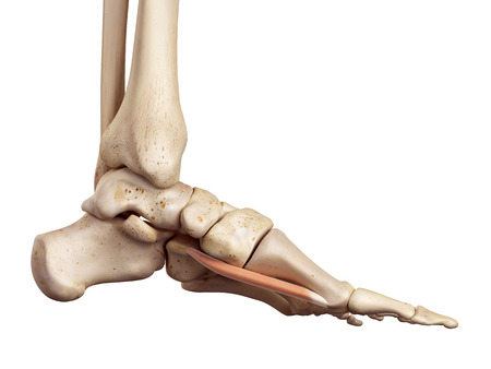 accurate: medical accurate illustration of the flexor hallucis brevis Stock Photo