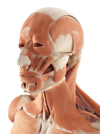 face illustration: medical accurate illustration of the facial muscles