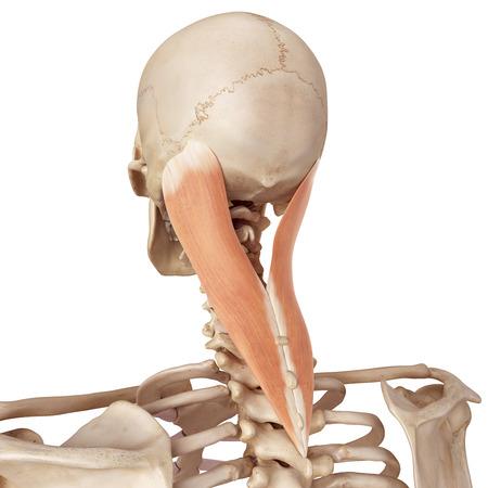 collo: medico illustrazione accurata del capitis splenius