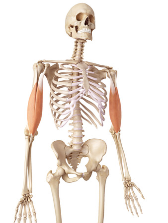 accurate: medical accurate illustration of the biceps Stock Photo