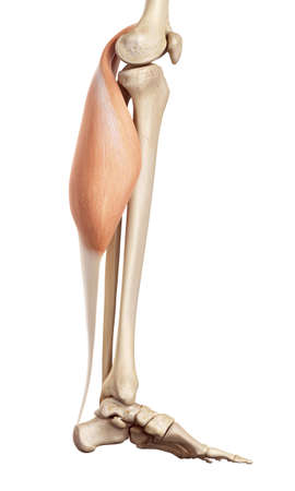 musculature: medical accurate illustration of the gastrocnemius Stock Photo