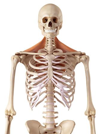 huesos: ilustración médica precisa del trapecio