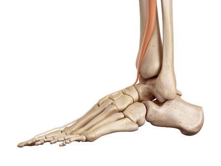 accurate: medical accurate illustration of the extensor hallucis longus