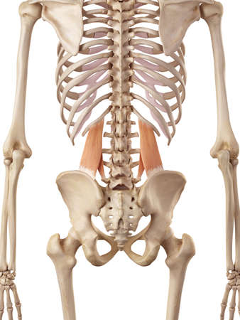 posterior: medical accurate illustration of the quadratus lumborum