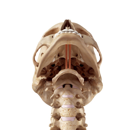 musculature: medical accurate illustration of the geniohyoid Stock Photo