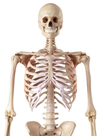 accurate: medical accurate illustration of the serratus anterior