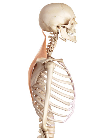 accurate: medical accurate illustration of the trapezius