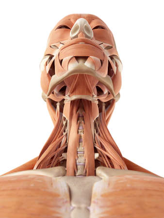 musculos: ilustraci�n m�dica precisa de los m�sculos del cuello Foto de archivo